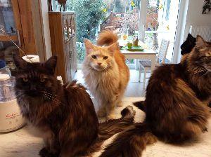 Fotos älterer Maine Coon Katzen auf www mcats de